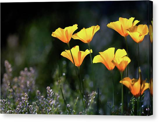 Canvas Print - A Golden Poppy Morning  by Saija Lehtonen