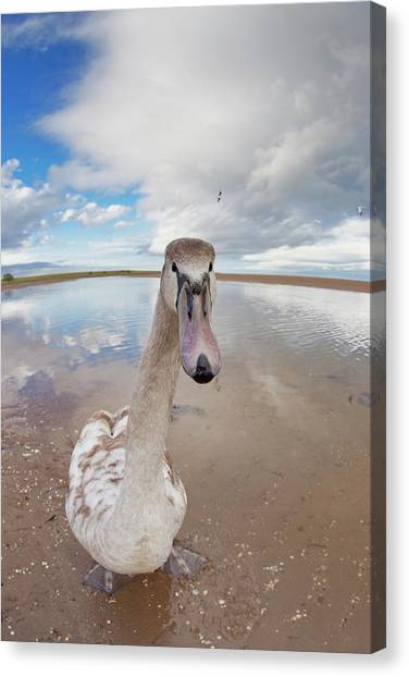 A Goose Standing On The Beach Staring Canvas Print
