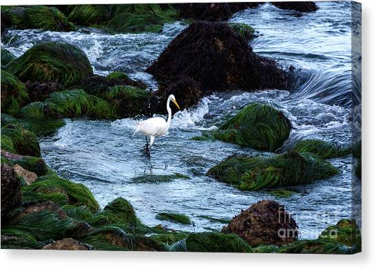 A Great Egret Watches The Incoming Tide Canvas Print