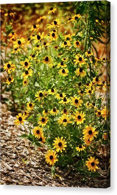 A Group Of Bossoming Black-eyed Susans Canvas Print by Maria Mosolova