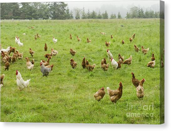 Livestock Canvas Print - A Group Of Free Range Chickens Feed In by Tfoxfoto