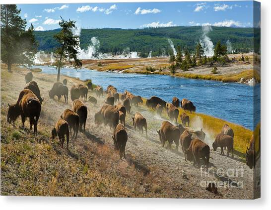 Wild West Canvas Print - A Herd Of Bison Moves Quickly Along The by Lee Prince