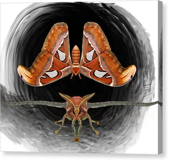 Canvas Print - A Is For Atlas Moth by Joan Stratton