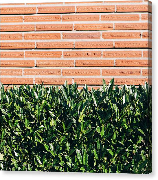 A Laurel Hedge With Glossy Green Leaves Canvas Print