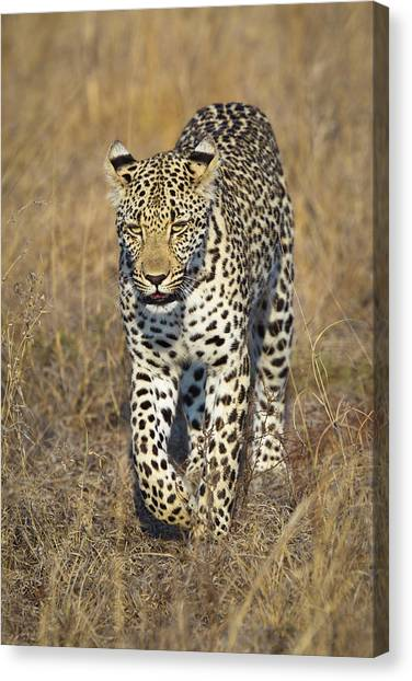 A Leopard Walking Through Grass Canvas Print by Sean Russell