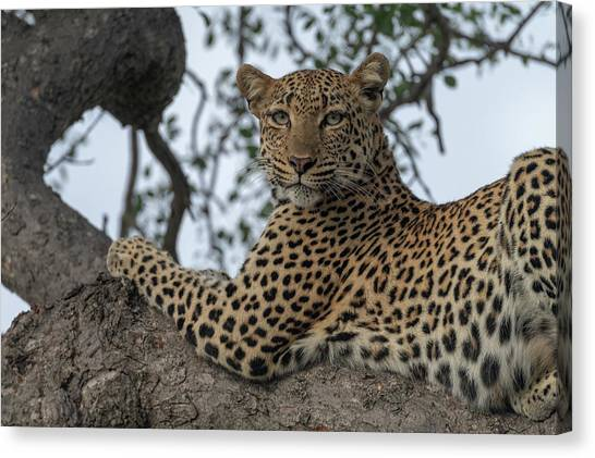 A Leopard Gazes From A Tree Canvas Print