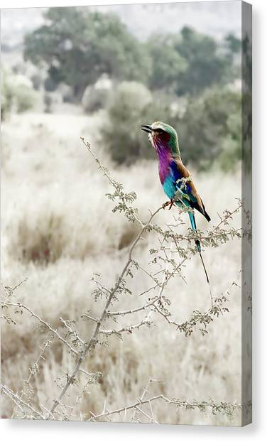 A Lilac Breasted Roller Sings, Desaturated Canvas Print