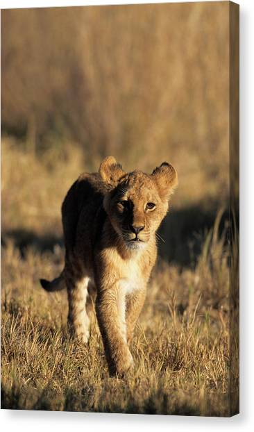 Southern Africa Canvas Print - A Lion Cub Advancing Towards The Camera by Daryl Balfour