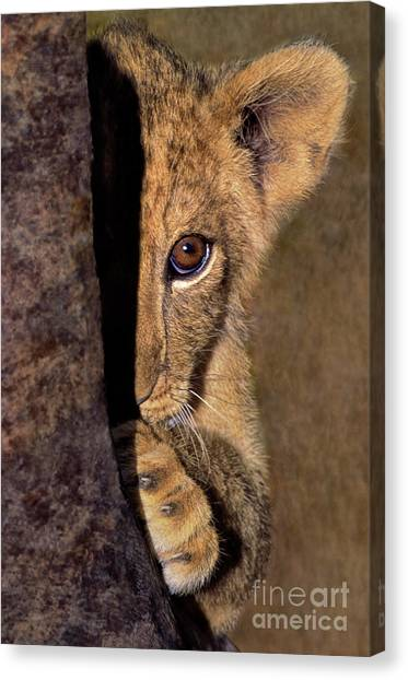 A Lion Cub Plays Hide And Seek Wildlife Rescue Canvas Print