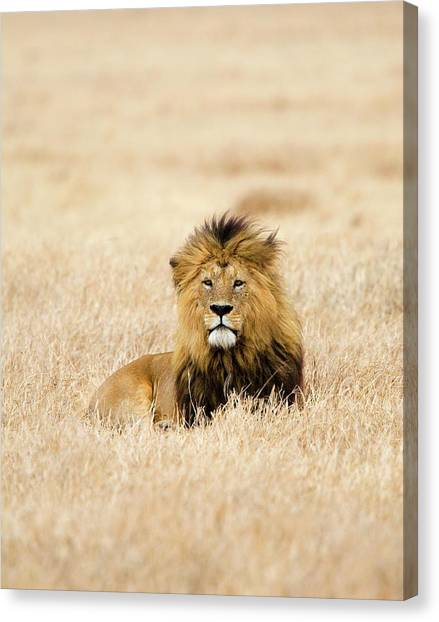 A Lion Canvas Print by Sean Russell
