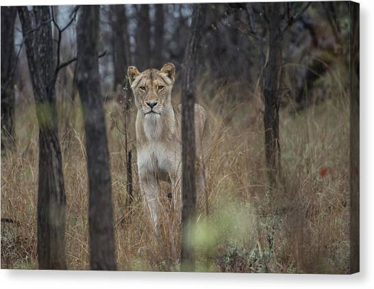 A Lioness In The Trees Canvas Print