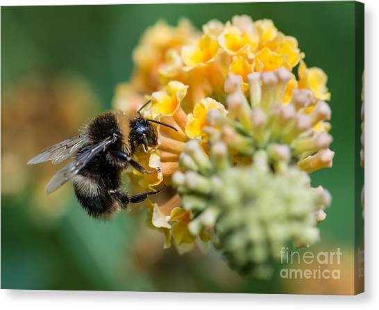 Yellow Butterfly Canvas Print - A Macro Shot Of A Bumblebee Enjoying by Ian Grainger
