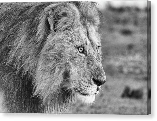 A Monochrome Male Lion Canvas Print