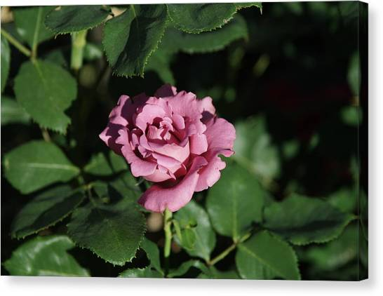 A New Rose Canvas Print