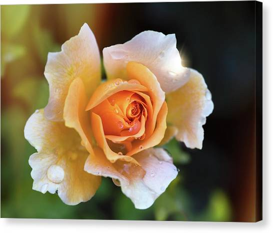 Canvas Print - A Peachy Rose  by Saija Lehtonen