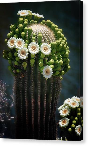 Canvas Print - A Saguaro Crown  by Saija Lehtonen