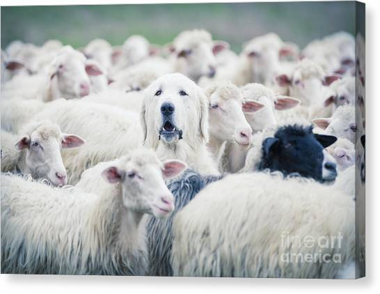Livestock Canvas Print - A Shepherd Dog Popping His Head Up From by Anadman Bvba