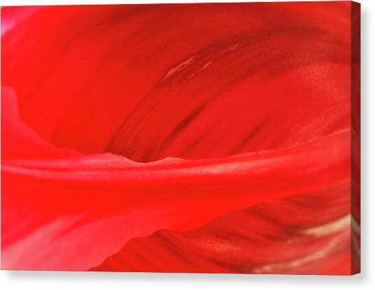 A Single Tulip Petal Canvas Print