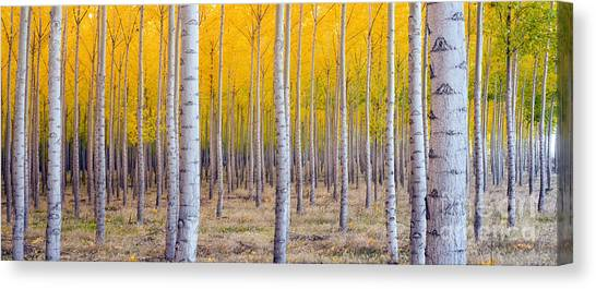 A Stand Of Trees Begins To Weather Fall Canvas Print by Christopher Boswell