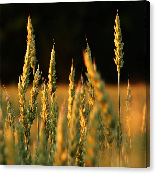 A Wheat Field Towards The End Of The Day Canvas Print by Ssuni