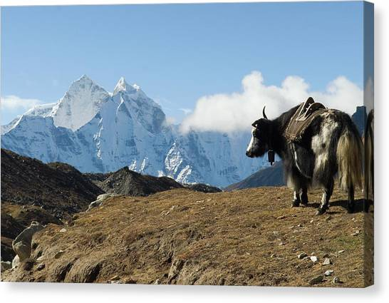 Yak Canvas Print - A Yak On The Trail To Mount Everest by Shanna Baker
