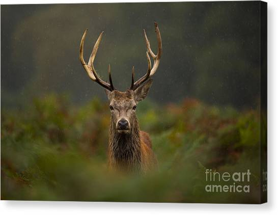 Moorland Canvas Print - A Young Red Deer Stag by Andrew Swinbank