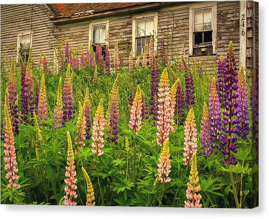 Abandoned Maine Farm Lupines Canvas Print