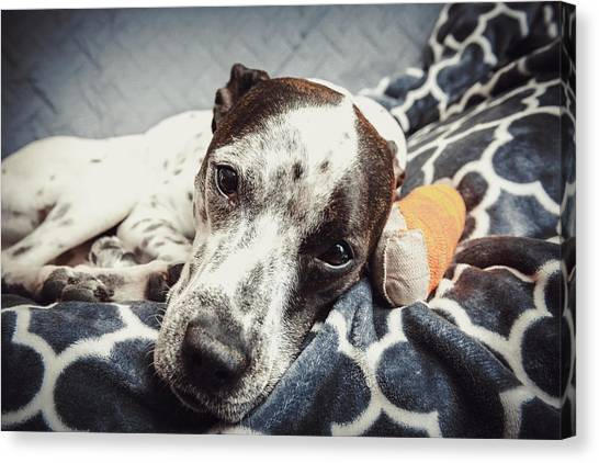 Abbey And Her Injured Paw Canvas Print