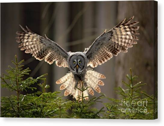 Grey Background Canvas Print - Action Scene From The Forest With Owl by Ondrej Prosicky