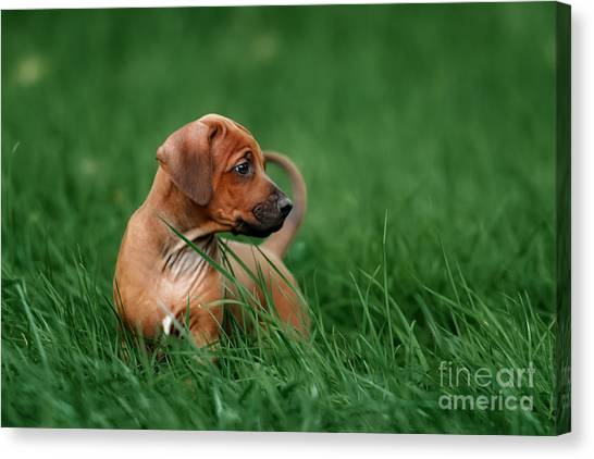 Purebred Canvas Print - Adorable Little Rhodesian Ridgeback by Ekaterina Brusnika