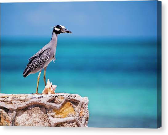 Adult Yellow-crowned Night-heron At Canvas Print