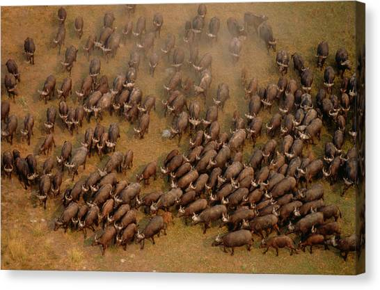 South Buffalo Canvas Print - African Buffalo Syncerus Caffer, Aerial by Art Wolfe