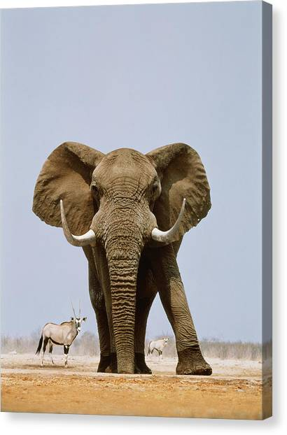 African Elephant And Gemsboks, Namibia Canvas Print