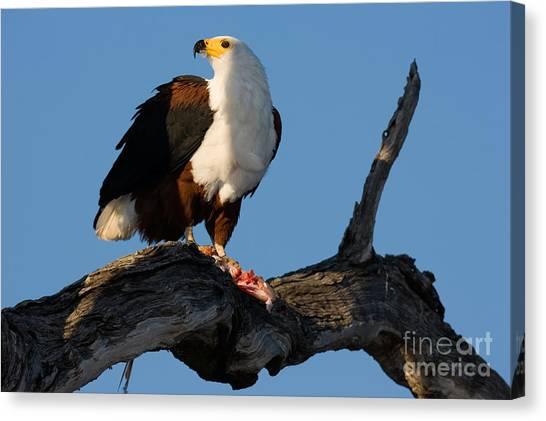 Southern Africa Canvas Print - African Fish Eagle Haliaeetus Vocifer by Johan Swanepoel