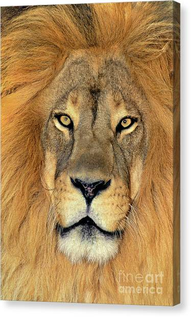 Canvas Print featuring the photograph African Lion Portrait Wildlife Rescue by Dave Welling