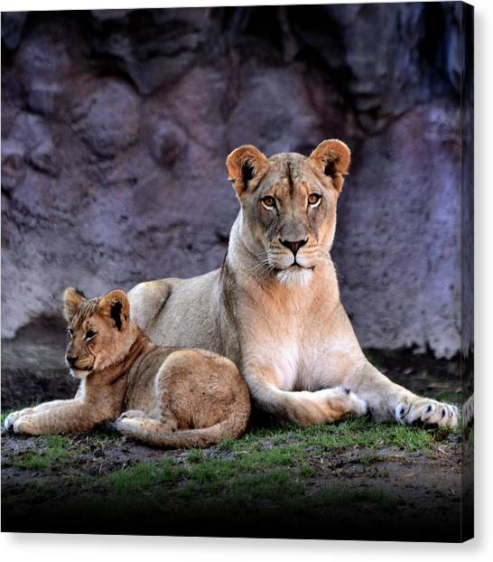 African Lion With Cub Canvas Print