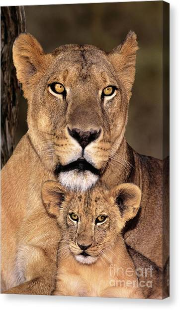 African Lions Parenthood Wildlife Rescue Canvas Print