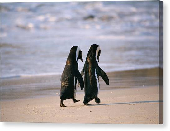 African Penguins Spenicus Canvas Print