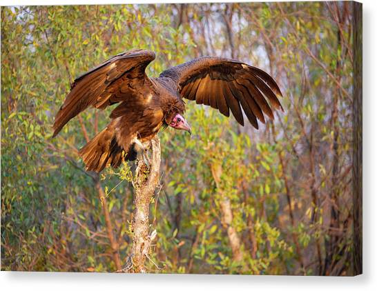 Canvas Print featuring the photograph African Vulture by John Rodrigues