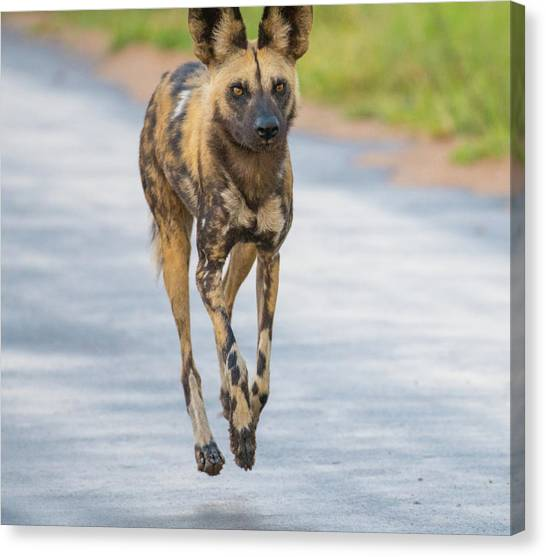 African Wild Dog Bouncing Canvas Print