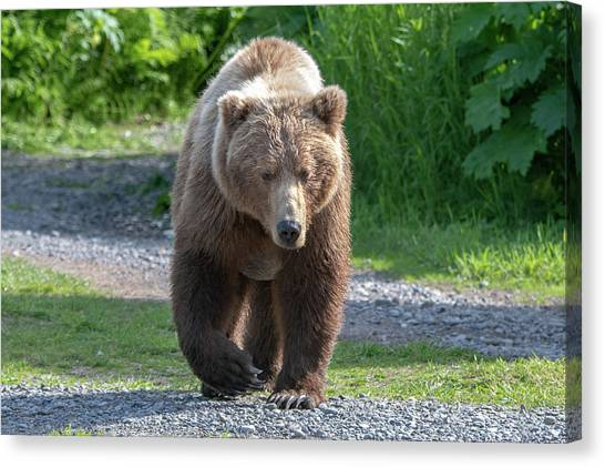 Alaskan Brown Bear Walking Towards You Canvas Print