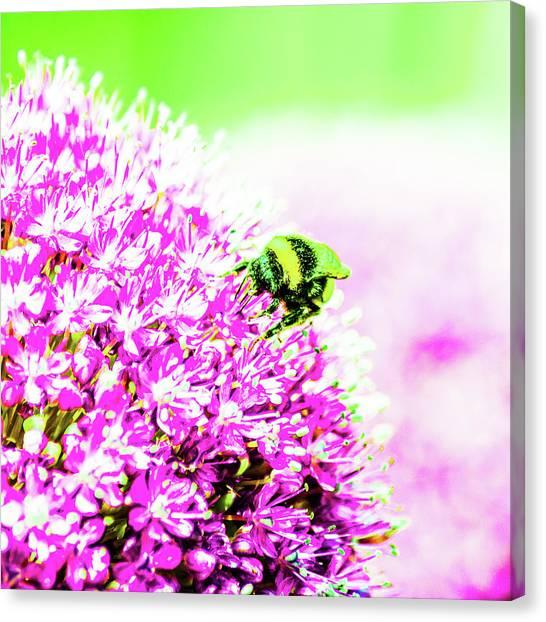 Allium With Bee 3 Canvas Print