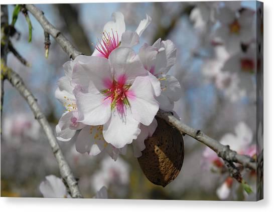 Almond Blossom And Almond Nut. Spain Canvas Print by Josie Elias