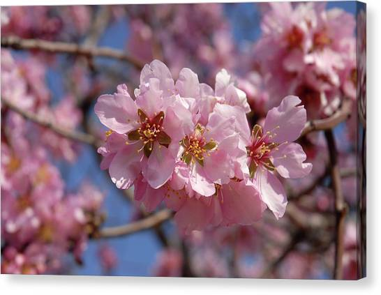 Almond Blossom. Spain Canvas Print by Josie Elias