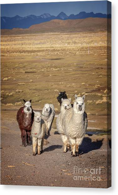 Andes Mountains Canvas Print - Alpacas In Bolivia by Delphimages Photo Creations
