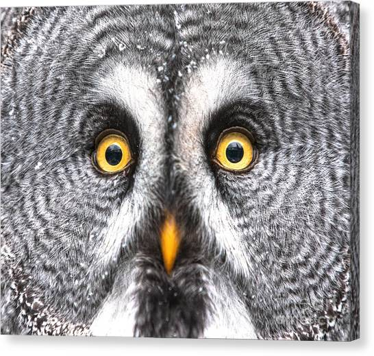 Amazed Great Grey Owl Hdr Canvas Print by Pics-xl