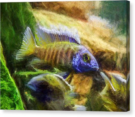 Amazing Peacock Cichlid Canvas Print