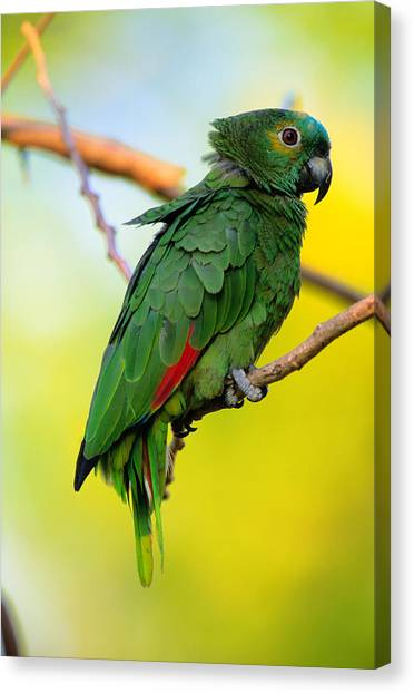 Art In America Canvas Print - Amazon Parrot Amazona Sp. Pantanal by Art Wolfe