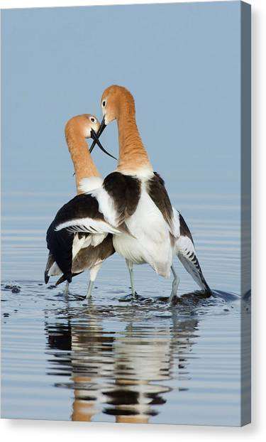 American Avocets, Courtship Dance Canvas Print by Ken Archer