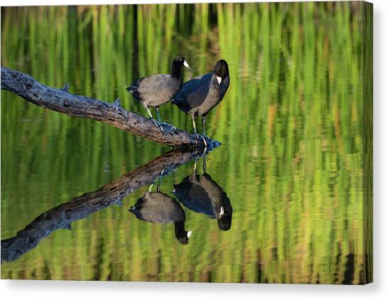 American Coot In Pond Canvas Print by Larry Ditto
